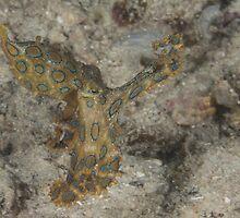 Blue-ringed Octopus by Mark Rosenstein