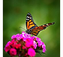 Butterfly - monarch on sweet william (2010) Photographic Print