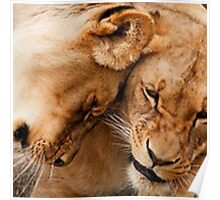 African big cats Poster