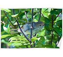 Brown Thornbill Poster
