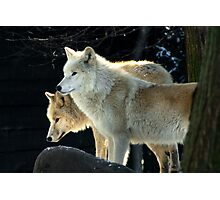 Two young wolves  Photographic Print
