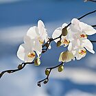 Snowy Orchids by vadim19
