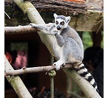 Peaceful Lemur - Nature Photography Photographic Print