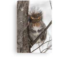 Large Grey Squirrel in a tree Canvas Print