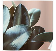 Ficus Elastica #2 Poster