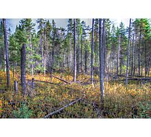 Pine trees in the marsh Photographic Print