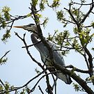 Blue Heron In Tree Top by Deb Fedeler