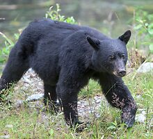 Black Bear Sow by Jim Stiles
