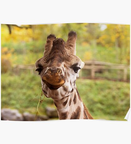 Hilarious Giraffe - Nature Photography Poster