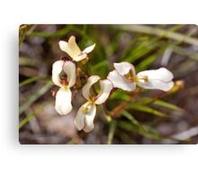 Cow Kicks or Trigger Plant in Western Australia. Canvas Print