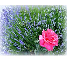 Lavender and Rose Photographic Print