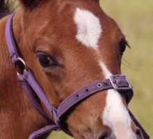 Portrait of a Playful Young Foal  Sticker