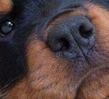 Rottweiler Puppy Sticker