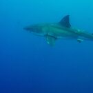 Great White Shark by salsbells69