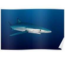 Blue Shark, South Africa Poster