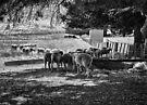 Sheep'n'shade'n'shed by Maree Cardinale