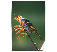New Holland Honeyeater_01 Poster