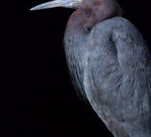 Little Blue Heron  Sticker
