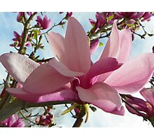 Floral - Japanese Magnolia Macro - Garden Flower Photographic Print