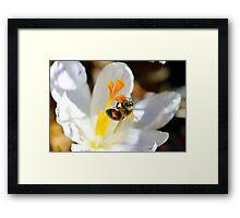 Bee on a Spring Crocus 8 Framed Print