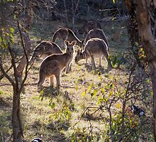 Kangaroos and Magpies - Canberra - Australia by Steven Ralser