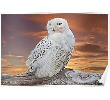 Snowy Owl Perched at Sunset Poster