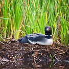 Loon on Nest - Norway - Maine by Steven Ralser