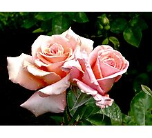 a pair of perfect pink roses Photographic Print