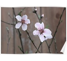 Pink Peach Blossom Poster