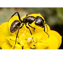 Ant close up Photographic Print
