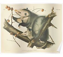 John James Audubon - Didelphis virginiana, Pennant. Virginian Opossum. Female & Young Male, 7 Months Old.   1845 Poster