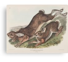 John James Audubon - Lepus americanus. Erxlebein. Northern Hare. Summer.   1, Male. 2, Female.1843 Canvas Print