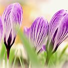 Crocus by JEZ22