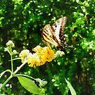 Yellow Swallowtail on Yellow Lantana by Susan Savad