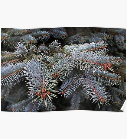 fir tree buds Poster