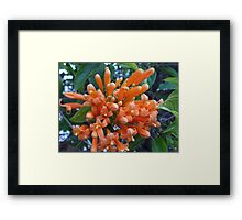 Orange Trumpet Creeper  Framed Print