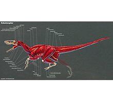 Dakotaraptor Muscle Study Photographic Print