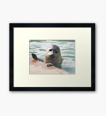 Young Seal  Framed Print