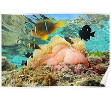 Sea anemone with fish anemonefish Pacific ocean Poster