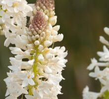 White Flower Spike at Marrinup WA Stackhousia monogyna Sticker