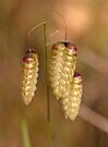Grass Seed Heads at Marrinup WA by Leonie Mac Lean