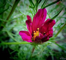 Cosmos bipinnatus - Garden Cosmos or Mexican Aster by Marilyn Harris