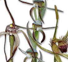 Orchids of Australia 5 Native orchids of Western Australia Sticker