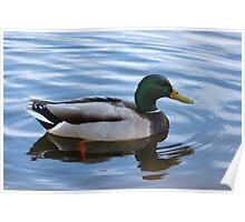 Male Mallard Duck Floating Peacefully  Poster