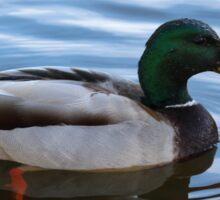 Male Mallard Duck Floating Peacefully  Sticker
