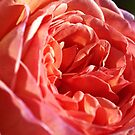 Rich and Elegant Rose by Joy Watson