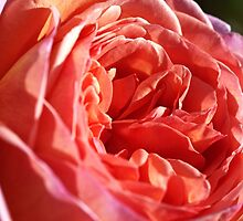 Rich and Elegant Rose by Joy Watson