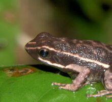 Poison dart frog, Peru Sticker