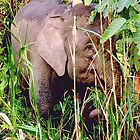 Malaysian Pygmy Elephant calf by Photography  by Mathilde