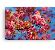 Chinese cherry in bloom Canvas Print